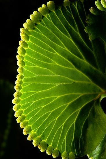 Kidney Fern (Trichomanes reniforme) from New Zealand photography by Rob Suisted