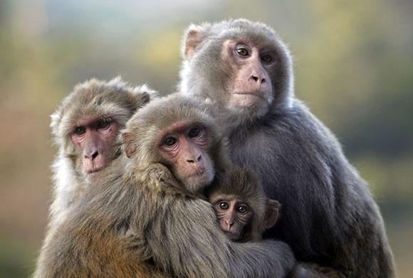 A group of monkeys sit huddled together on a cold morning in Udhampur, Kashmir, India - Fayaz Kabli