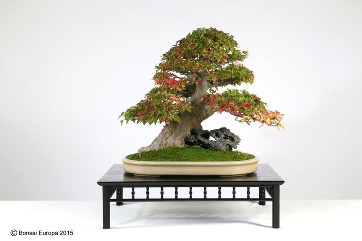 Die besten 25 bonsai yamadori ideen auf pinterest for Bonsai hydrokultur