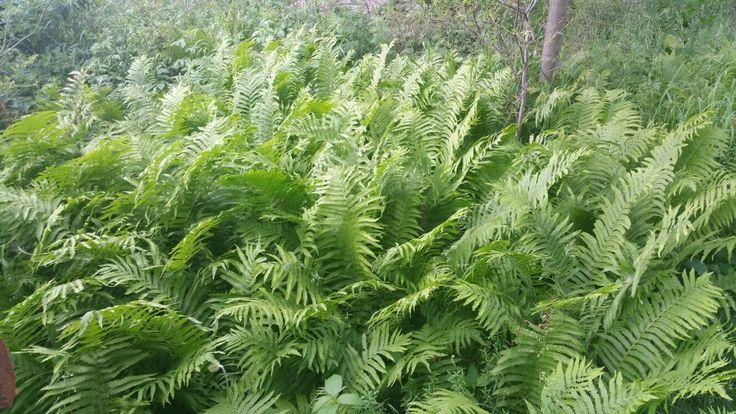 Ostrich fern in a woodland bed