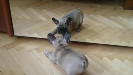 """La """"battaglia"""" allo specchio del piccolo Bulldog francese"""