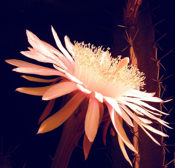 Acanthocereus tetragonus is a species of cactus. Common names include Night-blooming Cereus, Barbed-wire Cactus, Sword Pear, Dildo Cactus... Young stems of the Barbed-wire Cactus can be eaten as a vegetable either cooked or raw, while the fruits are edible and sweet.