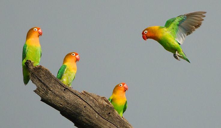 Suara Lovebird – Banyak sekali para kicau mania yang sudah menangkar burung lovebird, alasanya pun bermacam-macam. Banyak yang mengatakan bahwa burung ini jika ditangkar 2 dalam satu sangkar akan membentuk hati atau love. Memang unik sekali jika kita melihatnya bentunya tersebut, dengan melihat secara fisik saja memukau pastinya suaranya pun juga akan enak sekali didengarkan …