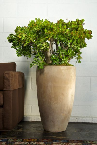 Jade Plant Indoor Jungle House Plants Pinterest And
