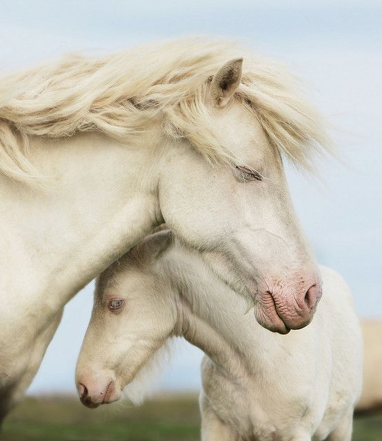 okay so there is no snow...but they are white horses: Mothers, Animal Baby, Pet, Beautiful, Blue Eye, Baby Animal, White Horses, Baby Hors, Wild Hors
