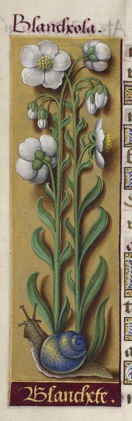 Jean Bourdichon, Grandes Heures d'Anne de Bretagne, 1503-1508. Paris, BNF, Latin 9474,  f. 130v: Blancheola / Helianthème à feuilles grisatres / Eliantemo degli Appennini