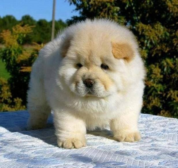 Cute Fluffy Chow Chow Puppy