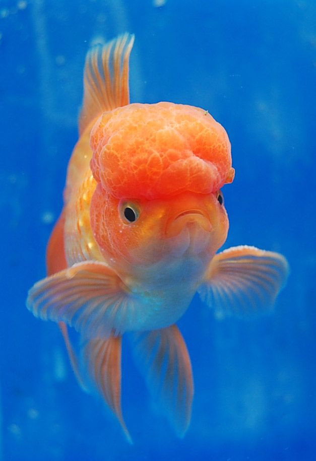 314 best images about gotta love fantail goldfish on for Tropical fish pond