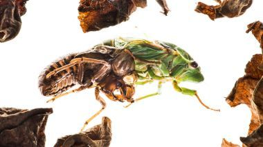<i>Cyclochila australasiae</i>, more commonly known as the green grocer cicada, sheds its nymph exoskeleton.