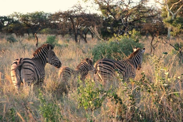 A Burchell's Zebra (now called Plains Zebra) family walking in the afternoon sunlight.