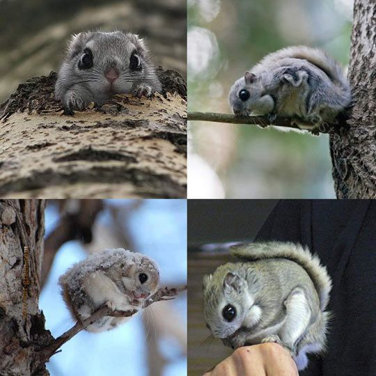 Japanese flying squirrel…cute it may seem, but it's eyes are actually quite terrifying. I mean just look at them - LOOK AT THEM!