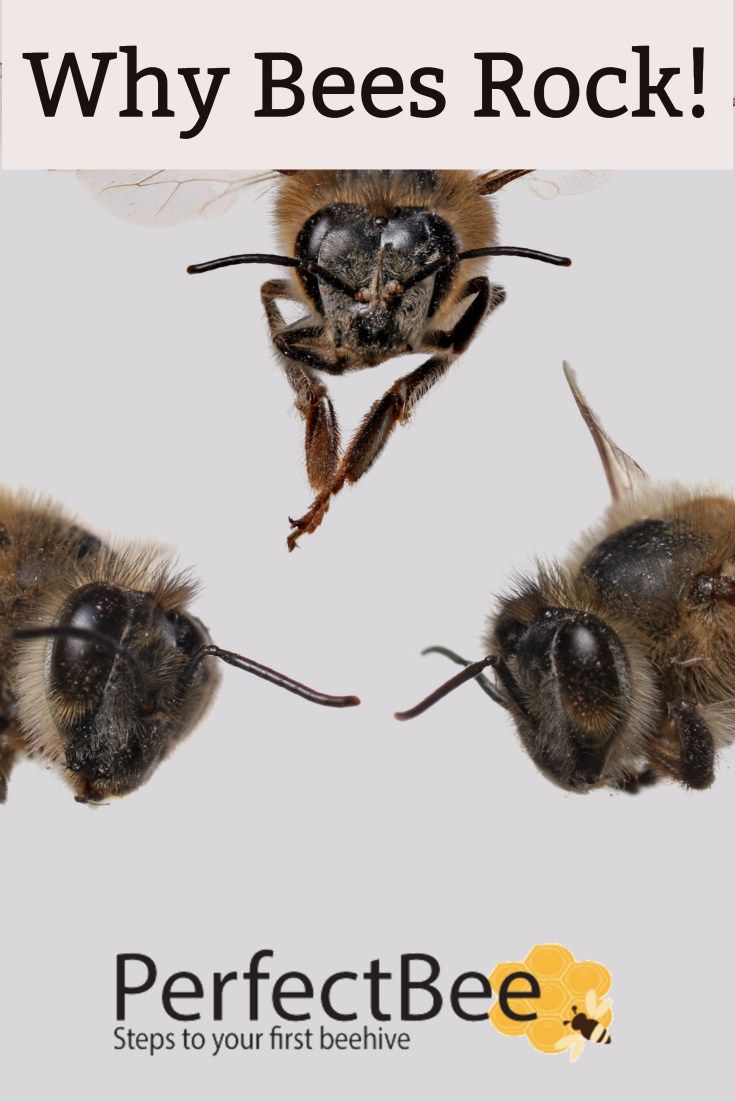 The bee is a mini-marvel of science. Putting aside, for a moment, that there are well over 20,000 different species of bee, the honey bee alone is incredible. But what is it about the bee that is so important and why do we find them fascinating?