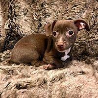 Lake Forest, California - Chihuahua. Meet Chimay, a for adoption. https://www.adoptapet.com/pet/19969767-lake-forest-california-chihuahua-mix