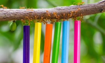 Weaver ants taught to carry pencils