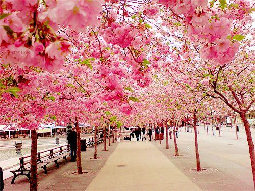 Beautiful, just beautiful: Japan, Pink Trees, Sakura, Cherries Blossoms Trees, Blossoms Walks, Beauty, Place, Flower, Cherry Blossoms