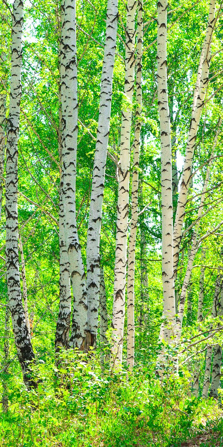Fototapete-Birkenwald-Tapete-Kunstdruck-Wandbild