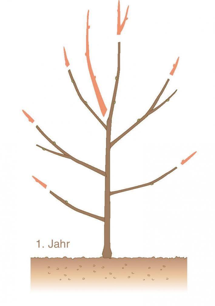 Fancy Obstbaum schneiden Jahr