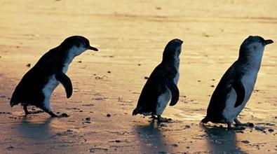 Phillip Island Penguin Parade, Victoria