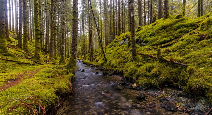 Flowing through The Forest - A river is flowing alongside the path in a mossy pine forest in Norway.