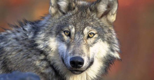 Keep Grey Wolves on the Endangered Species List!