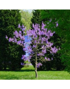 Paulownia tomentosa - Császárfa