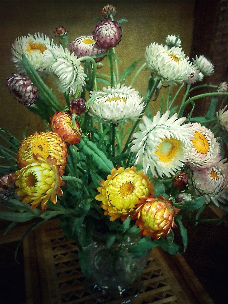 las siemprevivas en mi tienda houseleeks (Sempervivum) in my shop