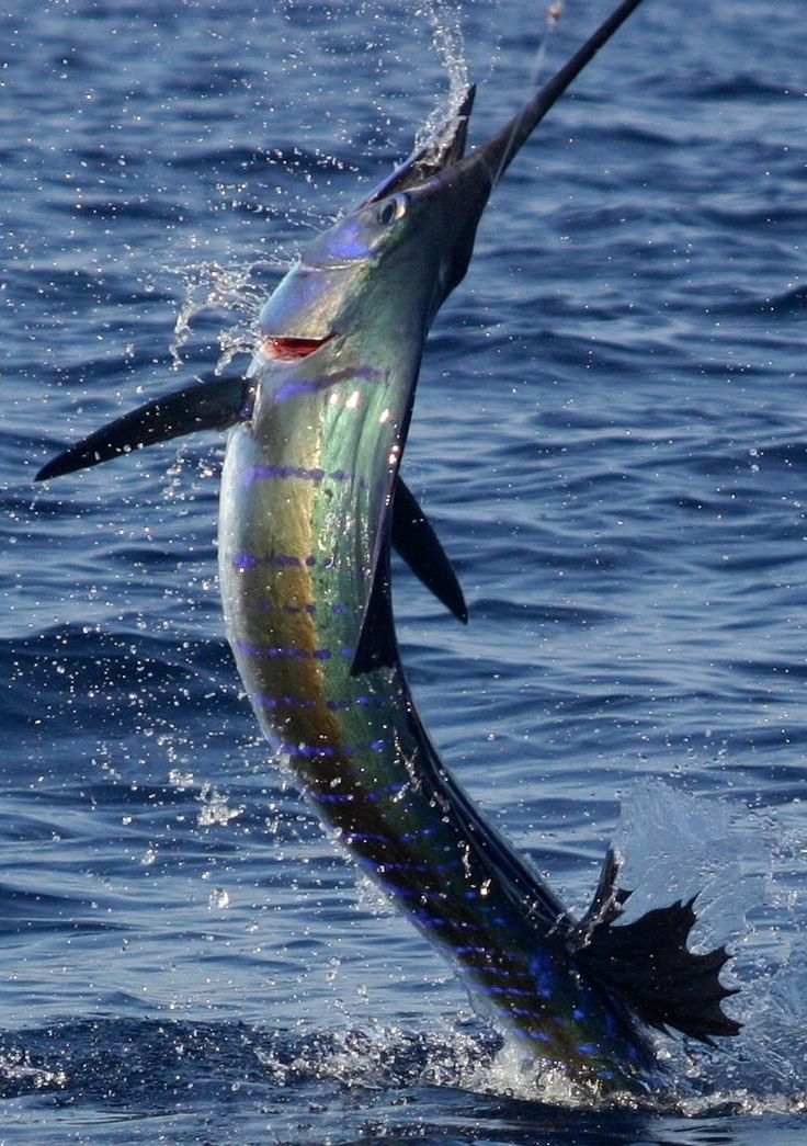 Marlin fishing - apparently the greatest fish to catch! Also you can do this in Fiji. Double whammy