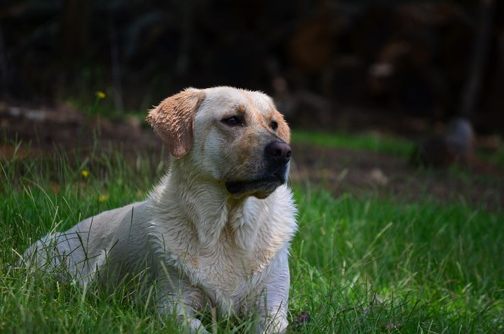 It's a Lab Thing's Labrador Rescue & Breeder Guide is Coming | It's a Lab Thing