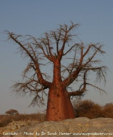 The real truth about water in baobabs: there's a bit of a myth out there that you can tap water out of a baobab.  The truth is that a freshly felled baobab trunk weighs about 850kg per cubic meter.  Once dried out, it weighs 200kg per cubic meter.  This means that baobabs are able to store 650 litres of water per cubic meter of tree.  In other words the tree consists of 76% water which is a lot!   But even though it has so much water, it is sadly not available for us to drink just like that.