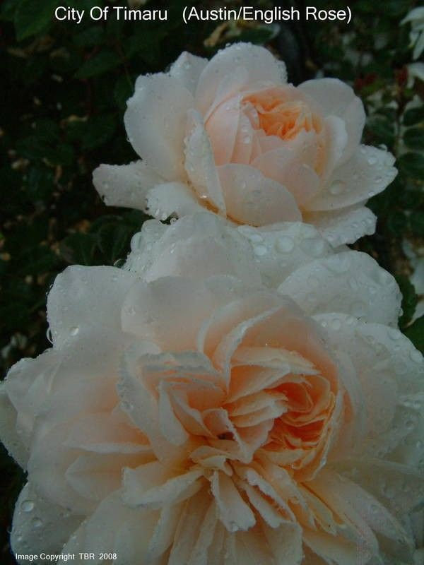 Cidade de Timaru (Ausquest) - David Austin Inglês Rosas - rosas velhas do jardim - Rose Catálogo - Tasman Bay Roses - Comprar Online Rosas na Nova Zelândia