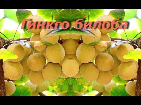 Гинкго билоба  -  лечебные свойства и противопоказания