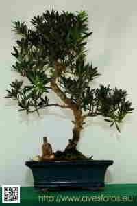 Foto de bonsai de podocarpo. regalo en el 2003.