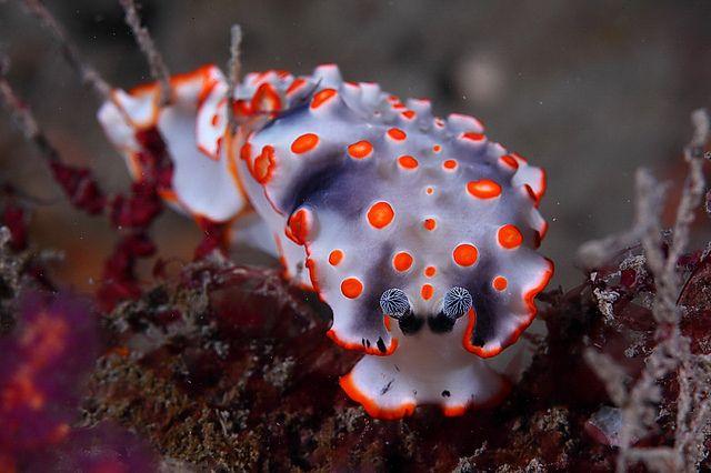 "libutron: ""Sea Slug - Dermatobranchus ornatus This is a sea slug scientifically named Dermatobranchus ornatus (Nudibranchia - Arminidae), a species known from Oman, Japan, Thailand, Malaysia, the..."