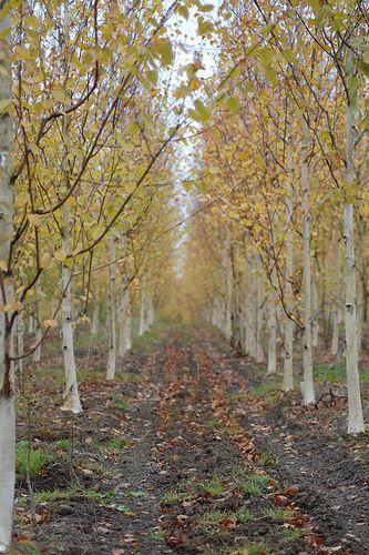 Betula Jackmontii Flannerys Nurseries