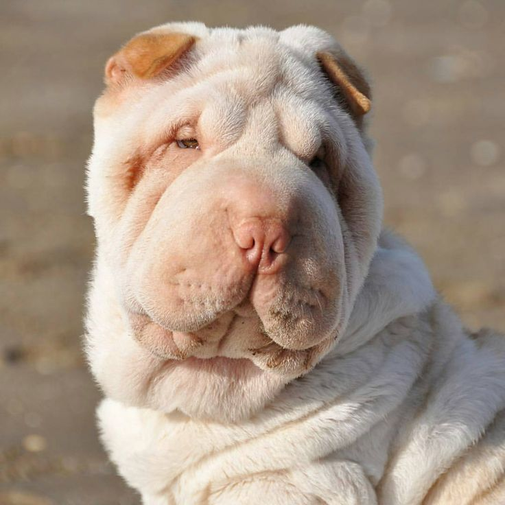 See this Instagram photo by @love_sharpei • 2,365 likes
