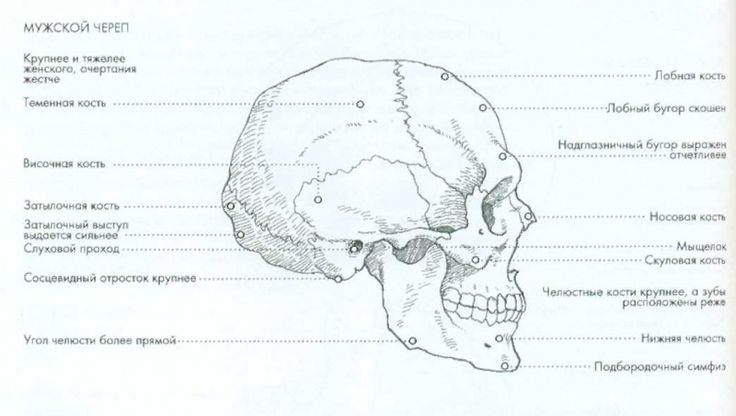 Файл:Анатомия html m4af517bc.jpg
