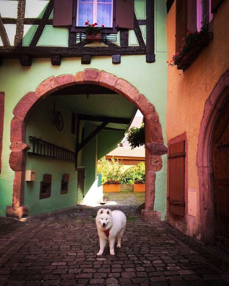 Went to a little town with pretty colorful houses 😍 #samoyedlover #samoyedpuppy #samoyedpup #samojeed #samoyed #pup #puppy #puppies #dog #dogs #doggy #dogwalk #dogmodel #france #vosges #summer #summerbreak #sunny #holiday #hot