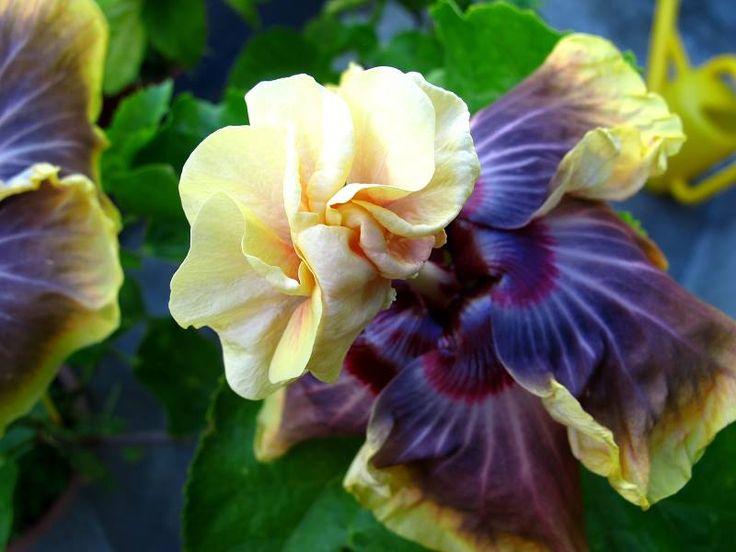 Hibiscus of Moorea: HOME