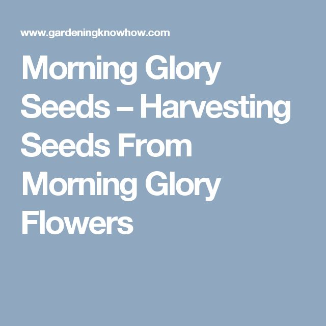 Morning Glory Seeds – Harvesting Seeds From Morning Glory Flowers