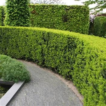 Taxus baccata English Yew hedge - 5 hedge plants