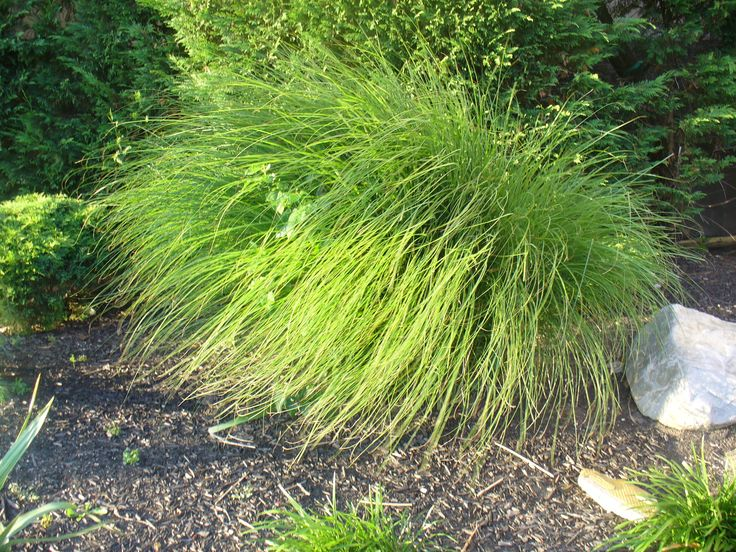 1000 images about ornamental grass on pinterest gardens for Ornamental grasses for small spaces