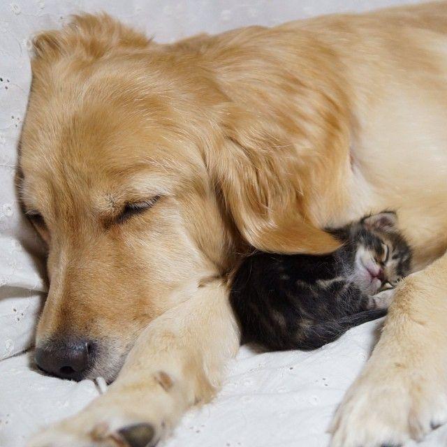 kitten-rescued-golden-retriever-ichimi-ponzu-jessiepon-9 - https://www.facebook.com/different.solutions.page