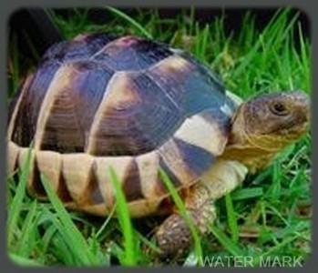 Image of  Marginated Tortoise