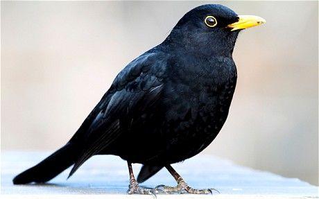 blackbirds - Google Search