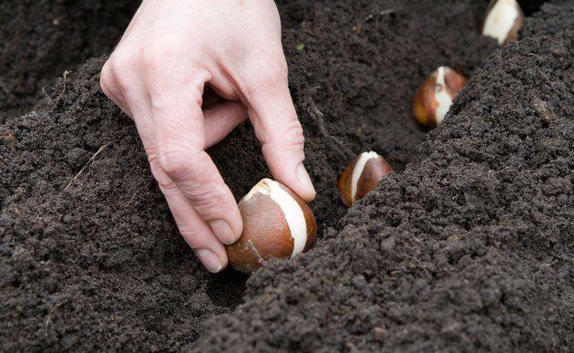 Посадка тюльпанов. Высаживаем луковицы тюльпана ...