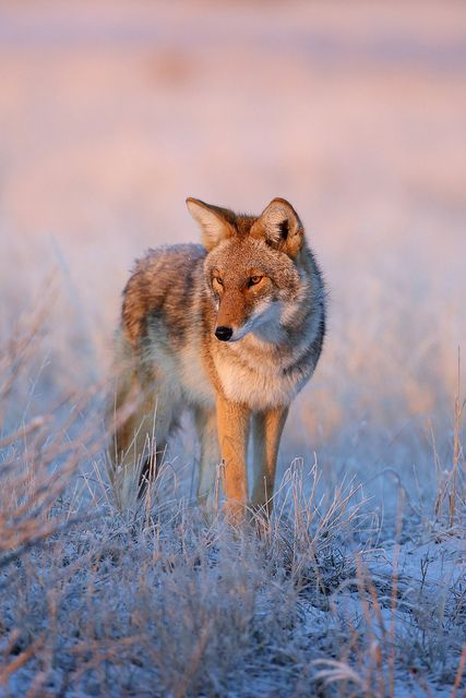Coyote at dawn/dusk.