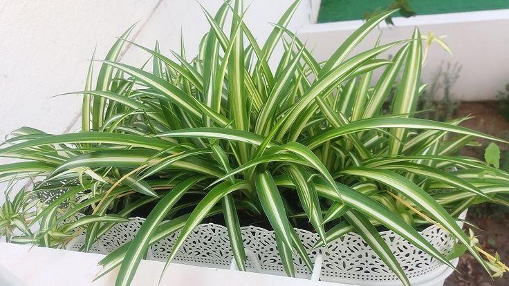 """Planta-aranha - """"Chlorophytum comosum"""".  Plantas filhas de outra da casa da mãe. Considerada uma das 5 plantas recomendadas pela Nasa para purificar o ar."""
