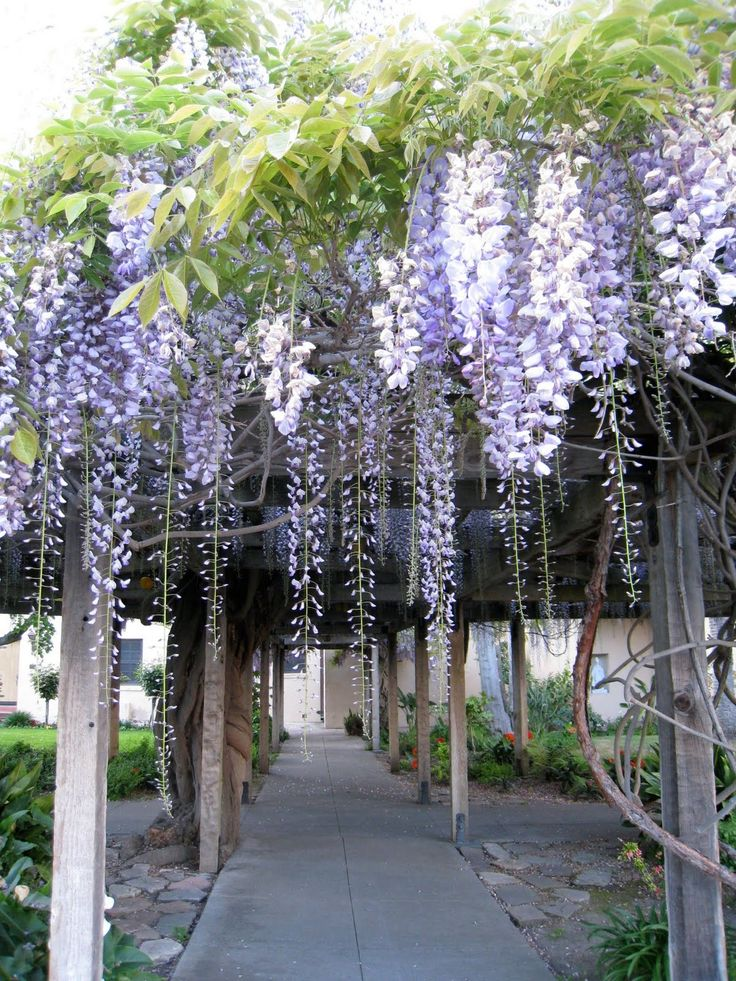 Wisteria arch...Note to northerners...there is a winter hardy variety available in Minnesota now. I have 2 plants growing up the side of my stucco! Successful for 3 years!