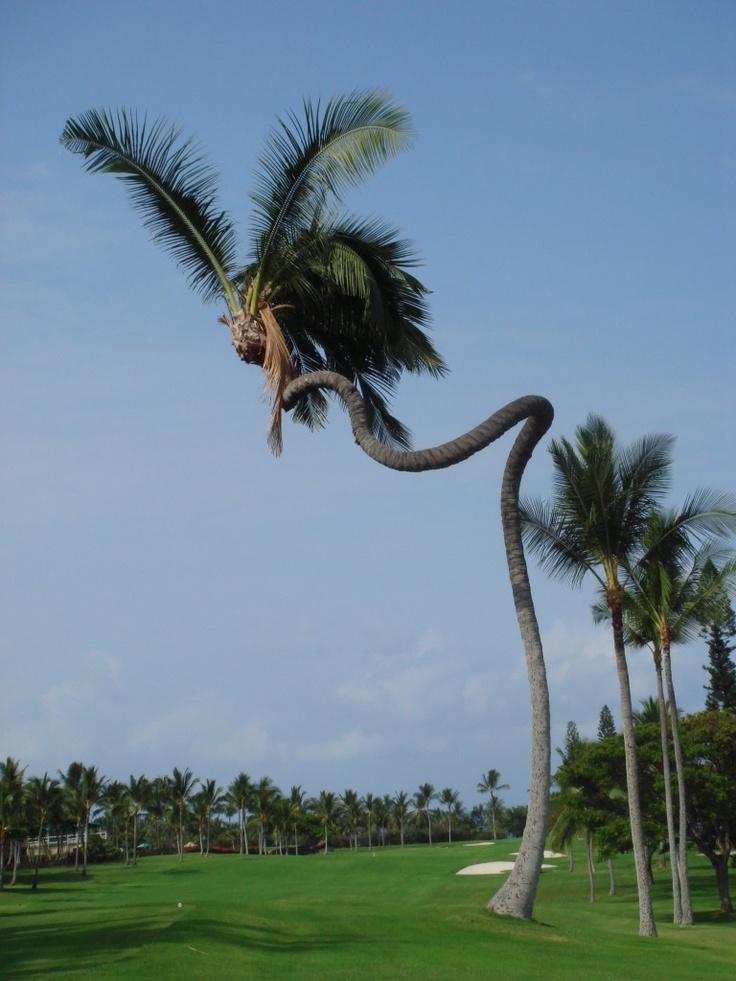 Increíble cocotero en Hawai