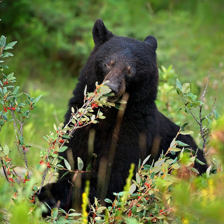 Hungry Bear! Canadian Rockies, Alberta, Canada | Magical ...